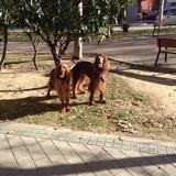 Spike Y Noa (Setter Irlandés Rojo)