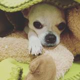 Cleo (Chihuahua)
