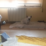 Lua - Bulldog Francés
