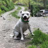 Pico (Staffordshire Bull Terrier)