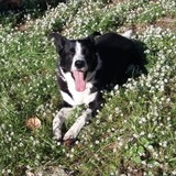 Lucky (Border Collie)