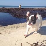 Luca - Bulldog Francés