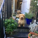 Zax (Yorkshire Terrier)