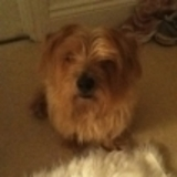 Archie (Norfolk Terrier)