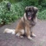 Hugo (Leonberger)