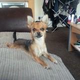 Kiki  (Chihuahua)