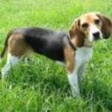 Tyson (Beagle)