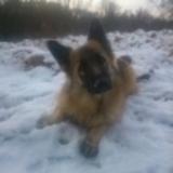 Luna (German Shepherd Dog)