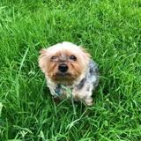 Ben (Yorkshire Terrier)