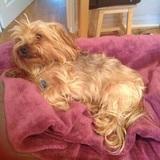 Josh (Yorkshire Terrier)