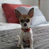Pippa (Chihuahua)