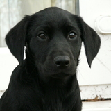 Bella (Labrador Retriever)