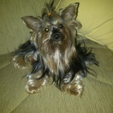 Luna (Yorkshire Terrier)