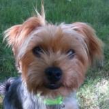 Bruno (Yorkshire Terrier)