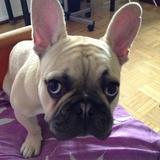 Nota (Bulldog Francés)