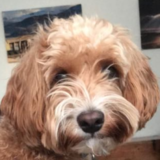 Teddy - Cockapoo