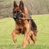 Zsar (German Shepherd Dog)