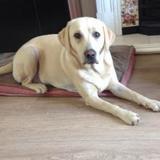 Millie (Labrador Retriever)