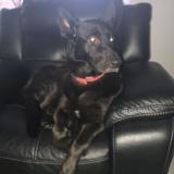 Coco (German Shepherd Dog)