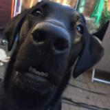 Bonnie (Labrador Retriever)