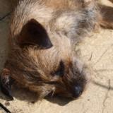 Ruby (Border Terrier)