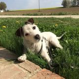 Gipsy (Parson Russell Terrier)
