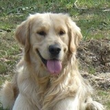 Yako - Golden Retriever