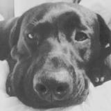 Dexter (Labrador Retriever)