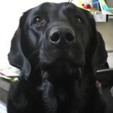 Coal (Labrador Retriever)