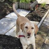 Holly - Labrador Retriever