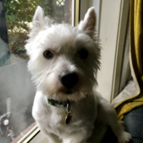 Rico (West Highland White Terrier)