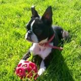 Bean (Boston Terrier)