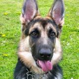 Sasha (German Shepherd Dog)