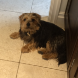 Bertie (Norfolk Terrier)