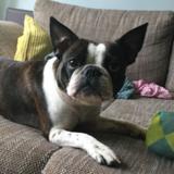 Piggie (French Bulldog)