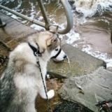Blade (Siberian Husky)