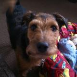 Max (Lakeland Terrier)