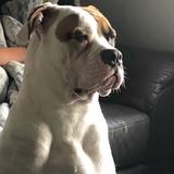 Tia (American bulldog)