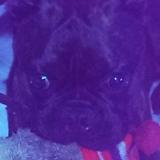 Moses - Boston/pug (Bugg)