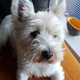 Murray (West Highland White Terrier)
