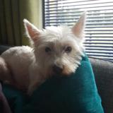 Rosie - West Highland White Terrier