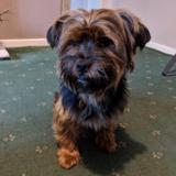 Yogi - Yorkshire Terrier