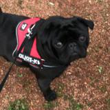 Charlie - Pug
