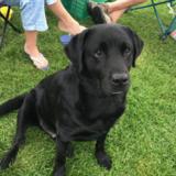 Ben (Labrador Retriever)