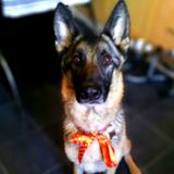 Skye (German Shepherd Dog)