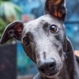 Stag - Greyhound