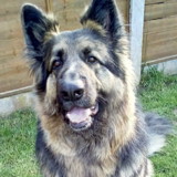 Blue (German Shepherd Dog)