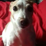 Jess (Jack Russell Terrier)