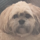 Millie (Lhasa Apso)