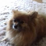 Henry (Pomeranian)